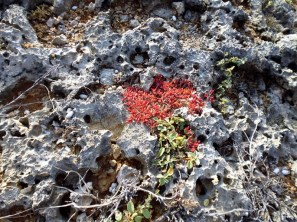 flowering cactus on coral shore