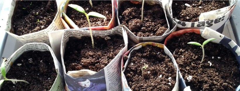 Tomaten, Zucchini, Löwenmaul in Töpfen aus Zeitungspapier vorziehen