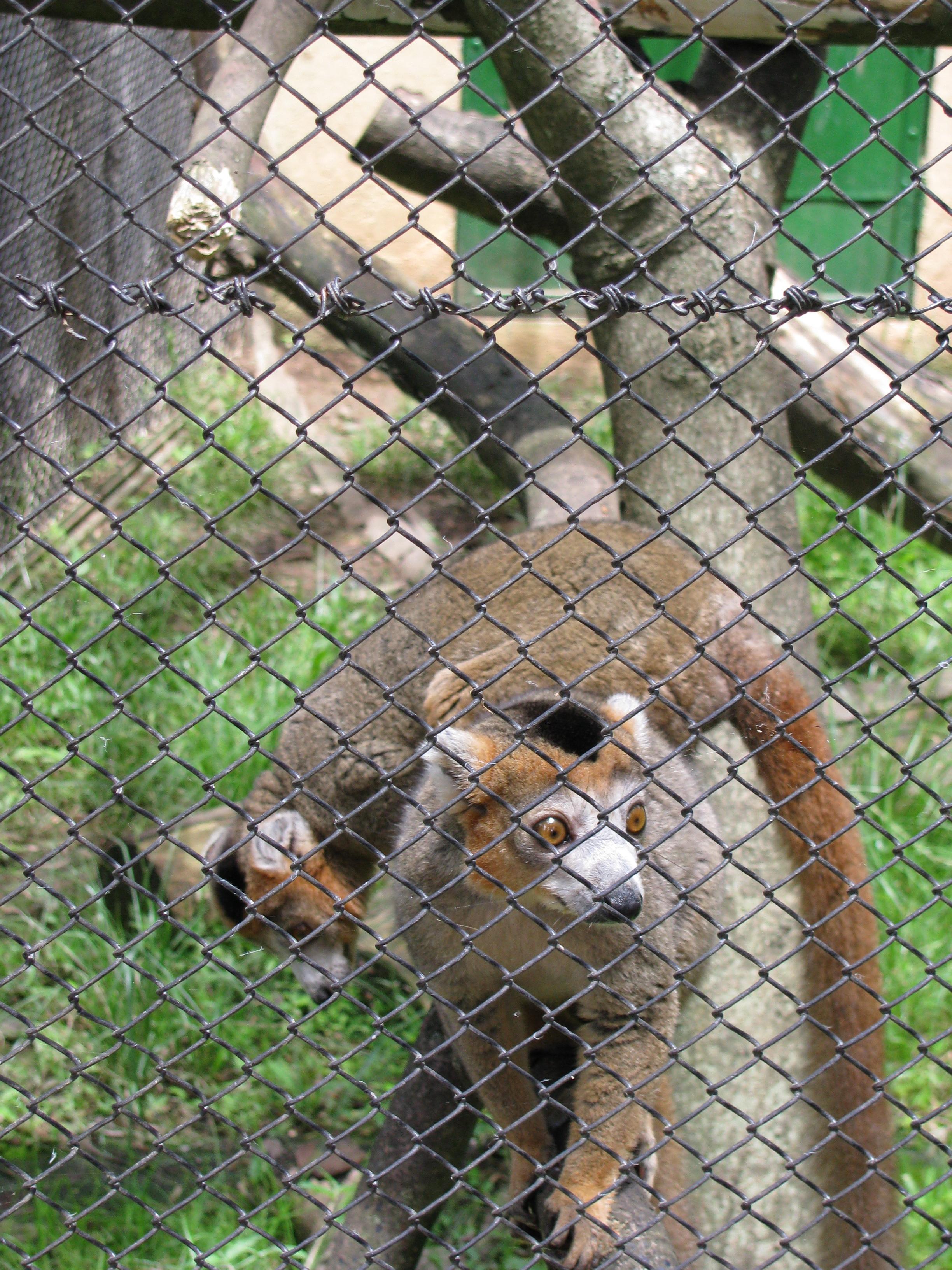 Lemur at Tana Zoo