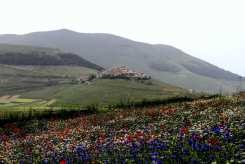 fiori misti a Castelluccio di Norcia