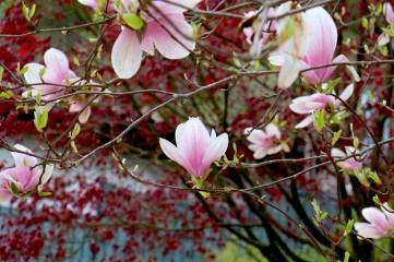 foto-di-magnolie