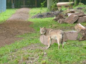 © Tierpark Sababurg Wolf im neuen Gehege