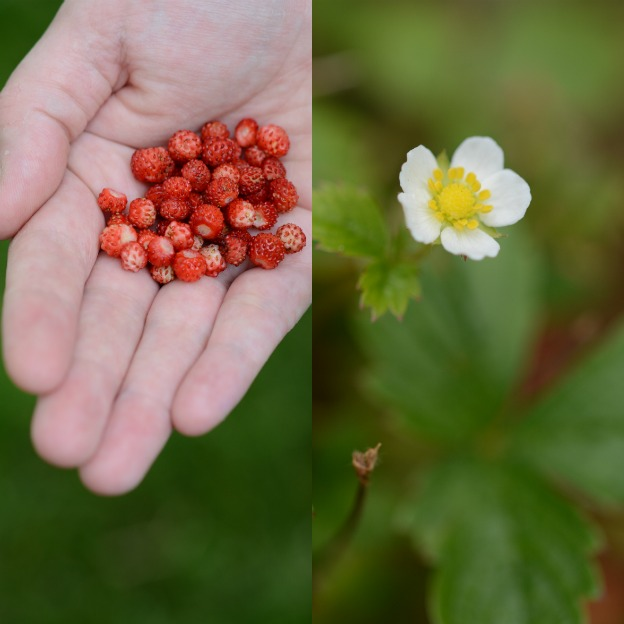 Wild strawberries from my backyard