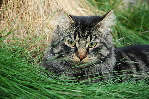 Røros cat in summer grass.