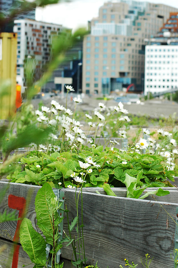Herligheten allotment garden in down-town Oslo is part of the Pollinator passage