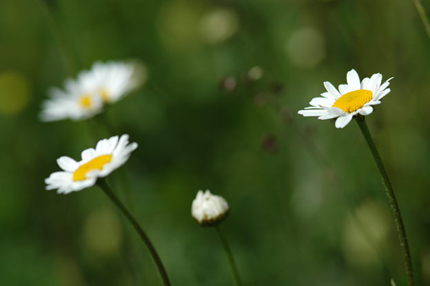 A meadow of ox-eye daisies is a favourite of the bees