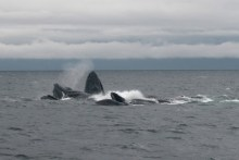 Bubble Netting Humpbacks