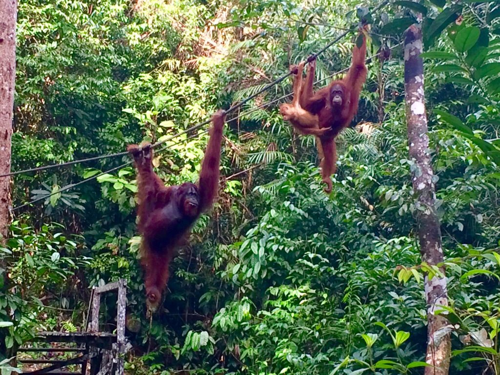 The best place to see orangutans on Borneo