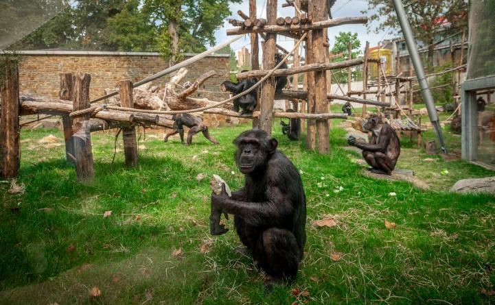 Einblick in eines der sehr gut strukturierten und mit vielen Klettermöglichkeiten versehenen Schimpansen-Außenbereiche in Antwerpen. (Foto Jonas Verhulst, Zoo Antwerpen)