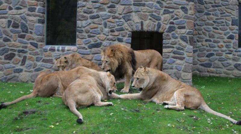 Die verletzte Tierpflegerin im Zoo Osnabrück ist wohlauf und auch den Löwen geht es gut. Weder Mensch noch Tier müssen nach dem Betriebsunfall negative Konsequenzen befürchten. Den Namen des Löwen möchte der Zoo nicht bekannt geben, da es sich um ein natürliches Verhalten der Wildtiere handelt und jeder Löwe so reagiert hätte. Foto: Zoo Osnabrück (Jan Banze)