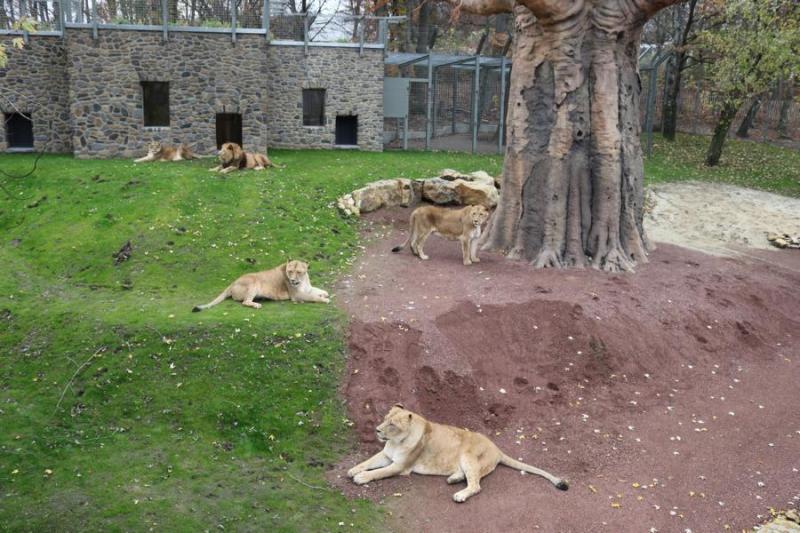 Im Zoo Osnabrück kam es am Sonntagvormittag zu einem Betriebsunfall im Löwengehege. Eine Tierpflegerin wurde von einem Löwen verletzt, es besteht keine Lebensgefahr. Der Vorfall wird in den kommenden Tagen aufgearbeitet. Foto: Zoo Osnabrück (Jan Banze)