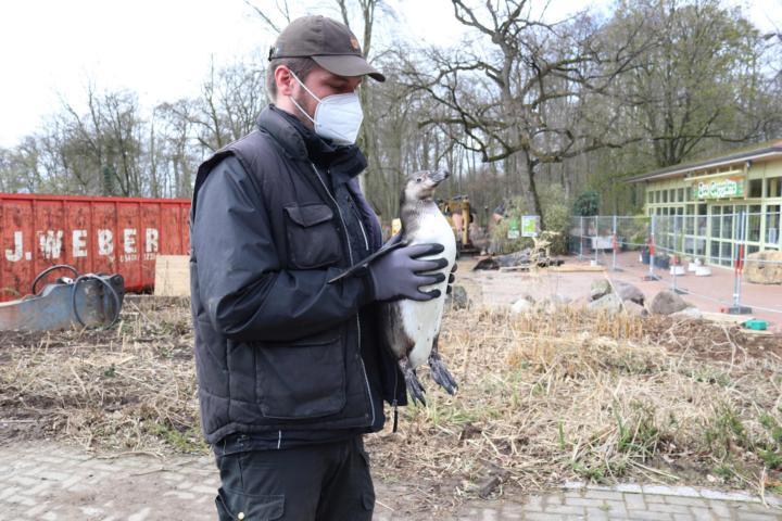 """Andreas Wulftange, zoologischer Leiter im Zoo Osnabrück, bringt mit Kollegen die insgesamt 21 Pinguine in ihr neues """"Zuhause auf Zeit"""" neben der Zoo-Gaststätte. Für Besucher sind die Humboldt-Pinguine während der Umbauarbeiten für die """"Wasserwelten"""" bis zum Sommer 2022 nicht zu sehen. Foto: Lisa Simon"""