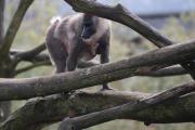 Immer fest an den Bauch seiner Mutter Katara klammert sich der kleiner Drill Keymo, der am 4. April im Zoo Osnabrück geboren wurde. Drille gelten als höchst gefährdet und jeder Nachwuchs ist wichtig um den Bestand der seltenen Tiere zu erhalten.Foto: Zoo Osnabrück