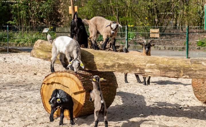 Zwergziegen Kindergarten - Foto: Franz Frieling