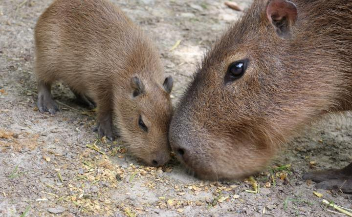 Noch ist das kleine Capybara keinen Monat alt, doch feste Nahrung nimmt es schon zu sich. Das ist auch nötig, denn damit es so groß wird wie das erwachsene Tier neben ihm, muss es noch viele Nährstoffe zu sich nehmen. Foto: Zoo Osnabrück (Jan Banze)