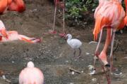Zwischen all den rosa Federn sticht das flauschige Weiß des Flamingo-Kükens besonders hervor. Erst wenn es älter ist und das erste richtige Federkleid trägt, verfärben sich die Federn mit der Zeit rosa. Aktuell können im Eingangsbereich des Zoo Osnabrück drei kleine Flamingo-Küken entdeckt werden. Foto: Zoo Osnabrück (Jan Banze)