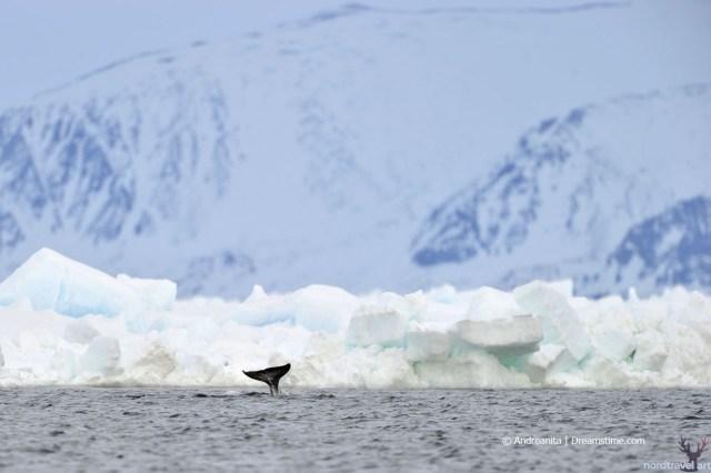 Нарвал. Хвост животного. Гренландия