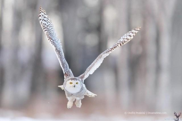 Полярная (белая) сова в Финляндии