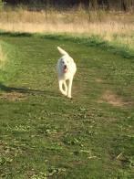Polar Bear on the loose