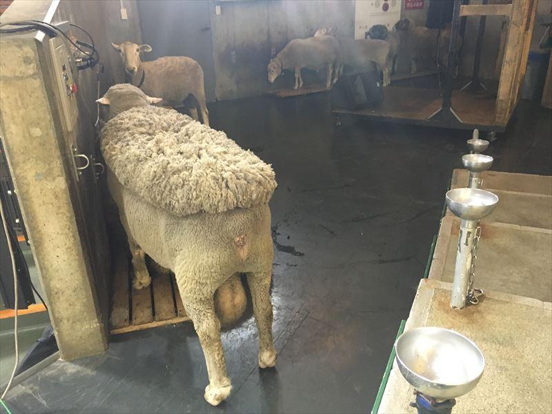 マザー牧場 たくさんの羊。