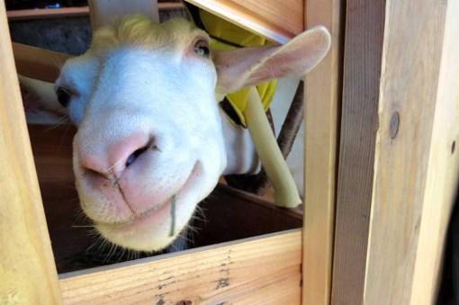 ばんどこメリーランドで搾乳されるヤギさん