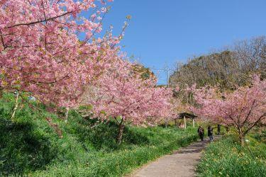 鋸南町佐久間ダムの頼朝桜 千葉県の河津桜の穴場撮影スポットです