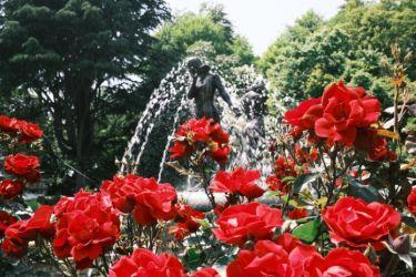 クラシックネガとクラシッククロームを薔薇で比較 富士フイルムの色【X100V】