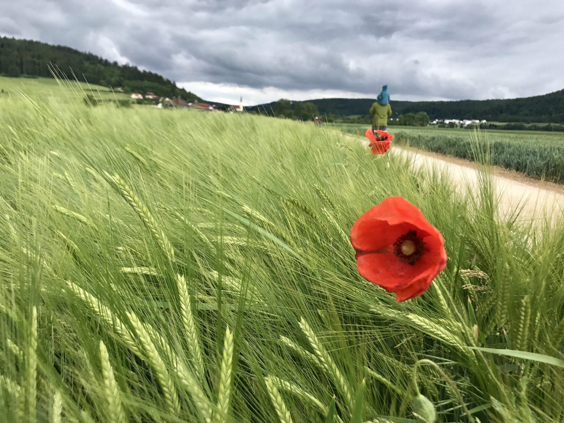 Wahrheit – Weizenfeld mit Mohn