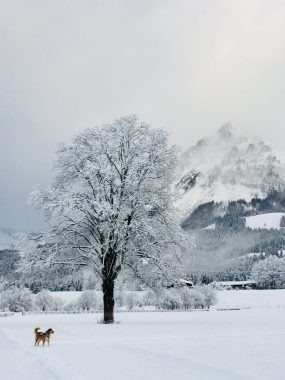 Hund Whiskey auf der Loipe mit Bergpanorama