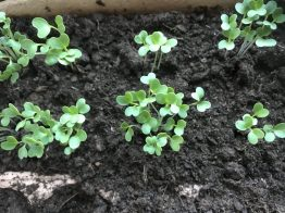 Gärtnern mit Kindern – Die ersten Radieschen...