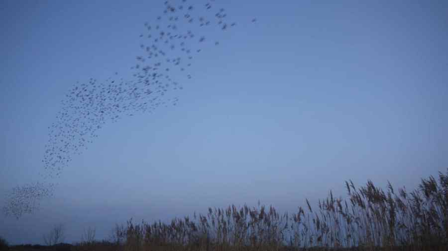 Starlings on the Avalon Marshes near Glastonbury by Vicki Steward