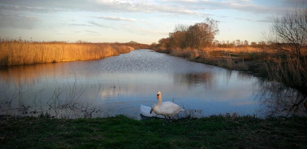 Swans on Ham Wall Nature Reserve, Avalon Marshes, Glastonbury by Vicki Steward