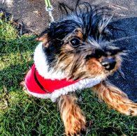 Inevitable dog in a Santa Suit
