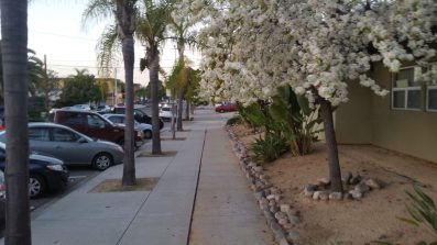 White Cherry Blossom trees line the roads of Normal Heights