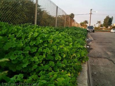 Massive curbside clovers