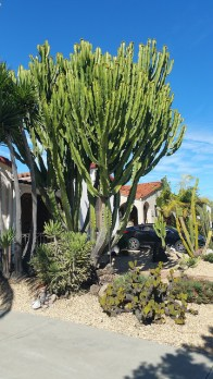 Desert Tree grows enormously tall.