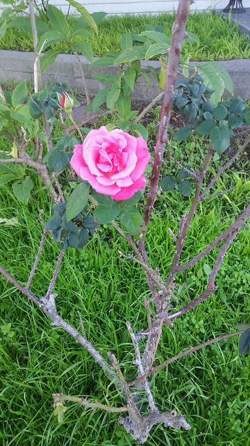 Beautiful pink rose in Normal Heights