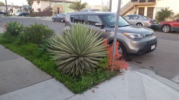 Super spikey plant on the curb rises to waist height menacing all who approach