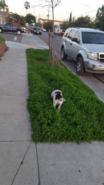 Tata the rescue dog looks for her spot to pee