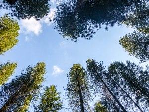 Pine needles and blue skies