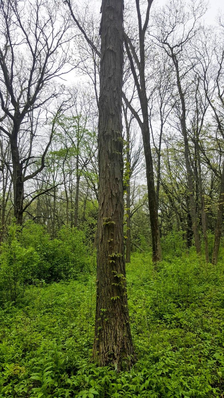 The very distinctive bark of the Shagbark Hickory tree