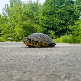 Turtle friend crossing the road