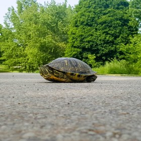 Turtle friend crossing the road