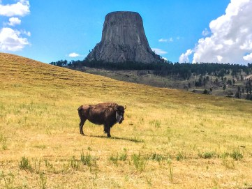 Bison grazing at Devil's Tower