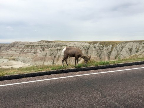 Bighorn sheep grazing by the side of the road