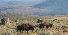 Lamar Valley wildlife