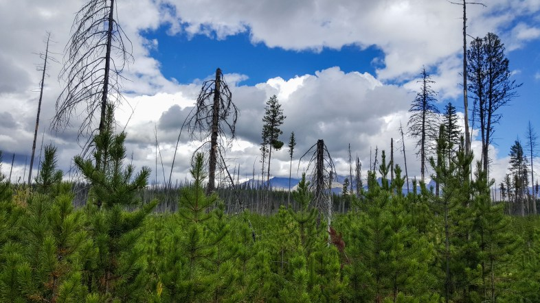 Large, dead burned tree tops with new green growth in the foreground and a bright blue sky along the Akokala Creek Trail in Glacier National Park