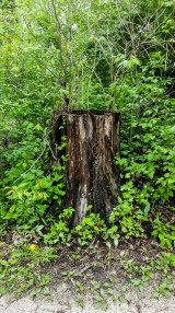 Hollowed out tree stump