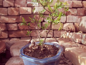 sansho_bonsai