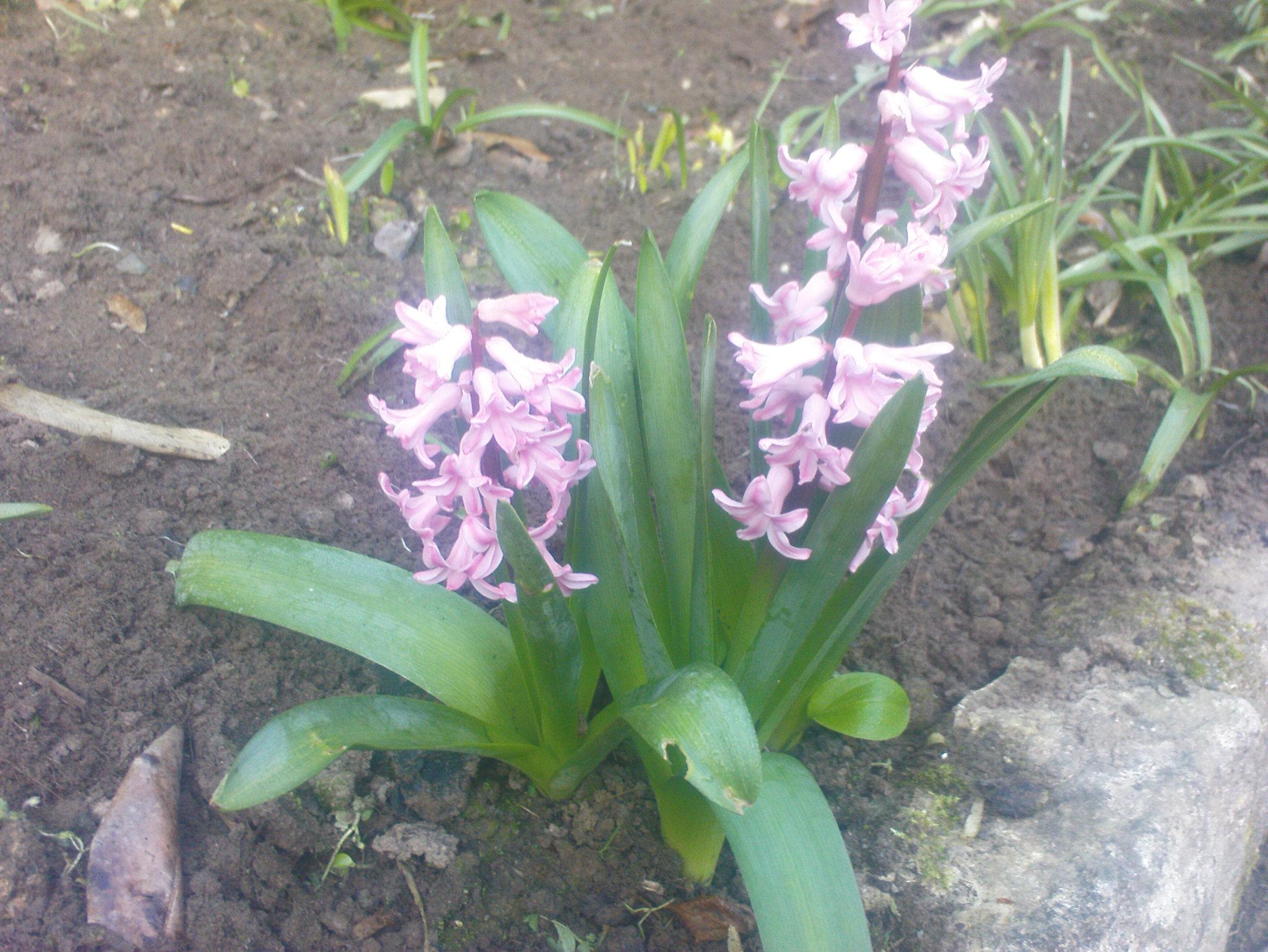 damian-garden-pansies-0341